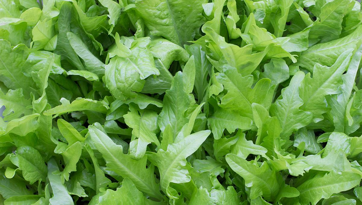 garden-052115-lettuce